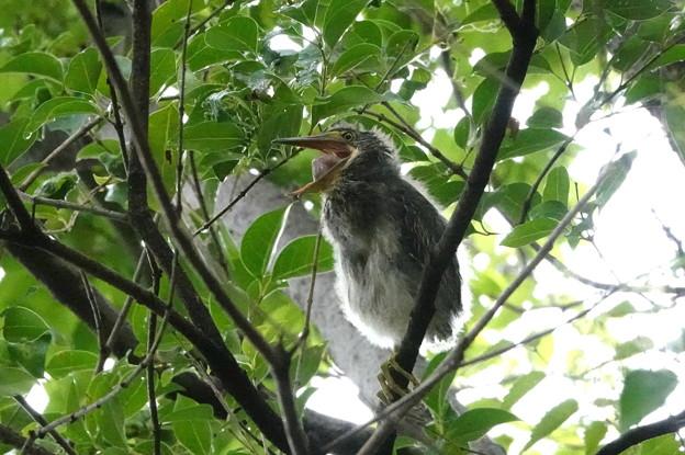 Photos: ササゴイの幼鳥-3