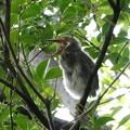 ササゴイの幼鳥-3