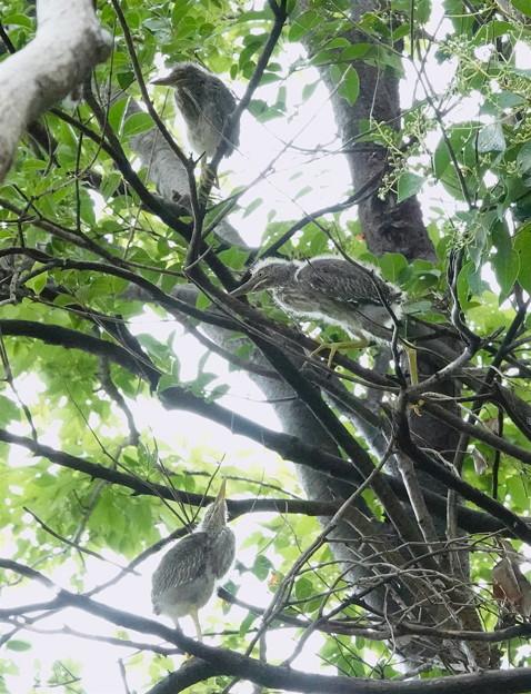 ササゴイの幼鳥たち