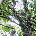 Photos: ササゴイの幼鳥たち