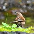 Photos: カヤクグリ-水浴びへ