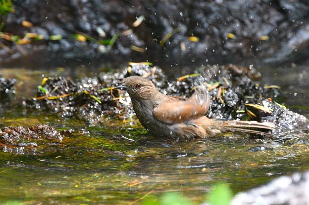 カヤクグリ-水浴中1