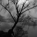 写真: 老木