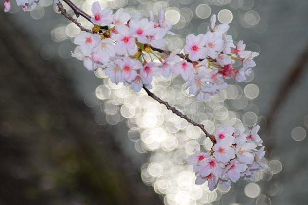 Photos: 川面に桜
