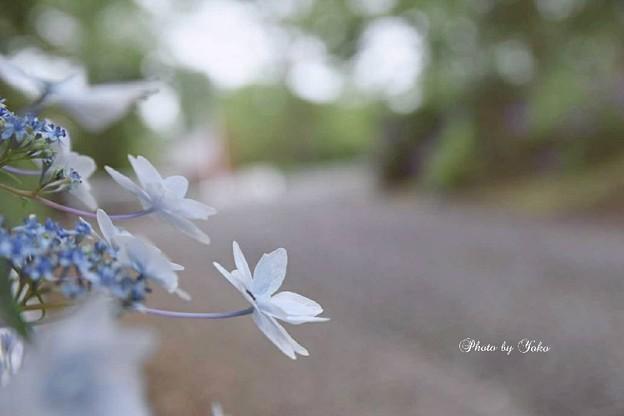 Photos: 額紫陽花