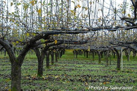 晩秋の葡萄棚