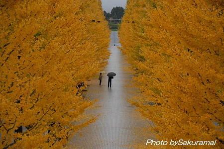 銀杏並木と人