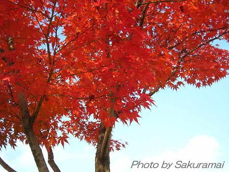 爽やかな紅葉