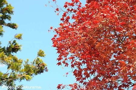 青空に晩秋の紅葉