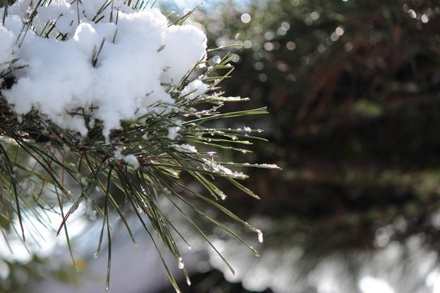 雪の積もった松の枝