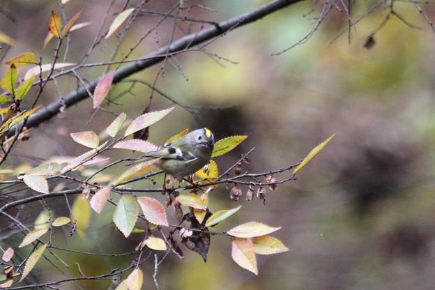 Photos: キクイタダキ(7)IMG_0906 by ふうさん