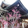 写真: 4.大阪天満宮と梅 IMG_4282