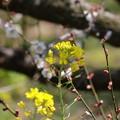 写真: 菜の花と梅(1)FK3A0763