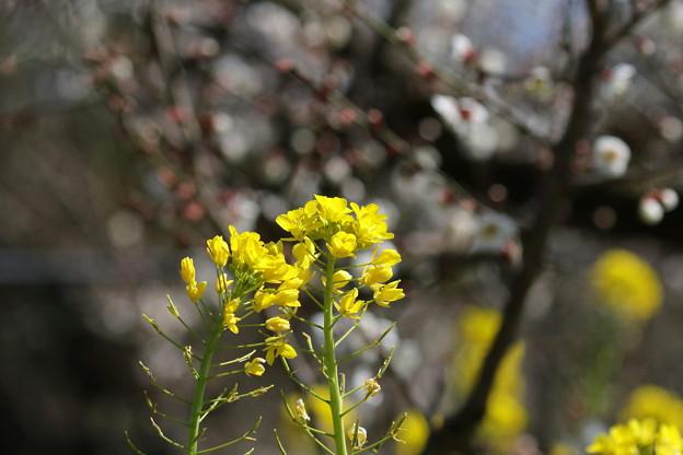 写真: 菜の花と梅(2)FK3A0766