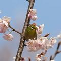 写真: 桜メジロ(1)FK3A2007 by ふうさん