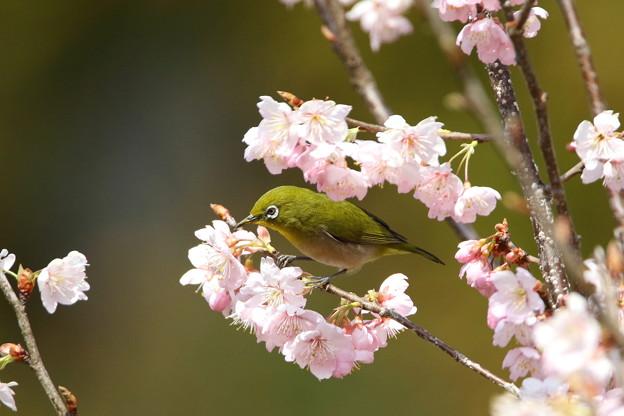 写真: 桜メジロ(2)044A9929