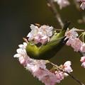 写真: 桜メジロ(3)044A9915