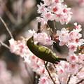 写真: 桜メジロ(4)FK3A1945 by ふうさん