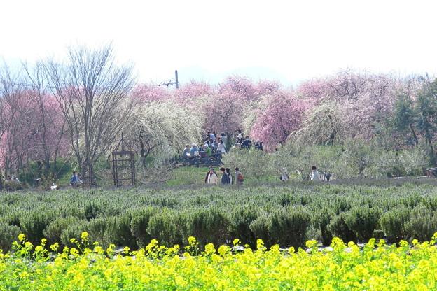 写真: 梅林と菜の花 IMG_4821