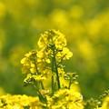 菜の花畑(1)FK3A2295