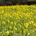 菜の花畑(2)FK3A2284