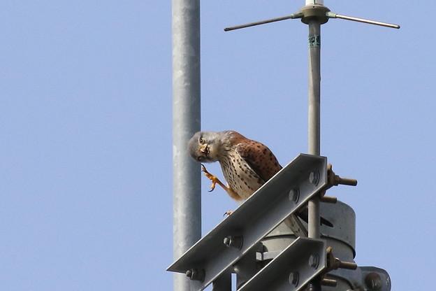 写真: 1.雌にエサを渡した雄は暫く休息 FK3A3189 by ふうさん