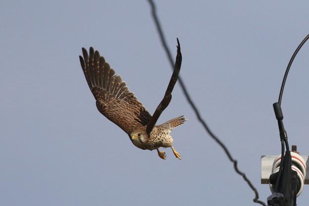 写真: 5.休憩後の雌は再び抱卵へ FK3A3253 by ふうさん