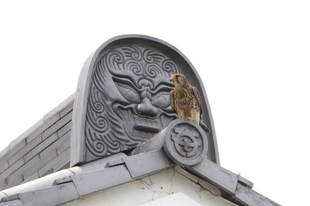 写真: 2.役場の屋根に留まるチョウゲンボウ♀(1)044A2274