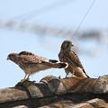 写真: 2.チョウゲンボウ幼鳥(巣だった1・2番子)044A2620