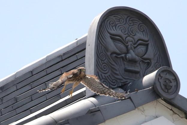 写真: 6.チョウゲンボウ幼鳥(飛翔練習中の2番子)044A2616