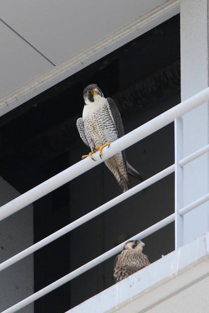 写真: 4.ハヤブサ親鳥♀+1番子 044A2987