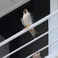 Photos: 4.ハヤブサ親鳥♀+1番子 044A2987