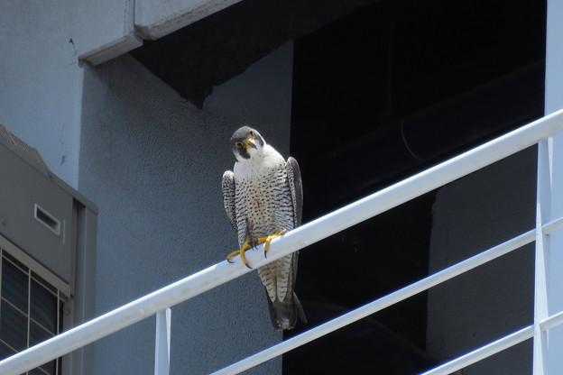 Photos: 5.ハヤブサ親鳥♀(1) IMG_5619 by ふうさん