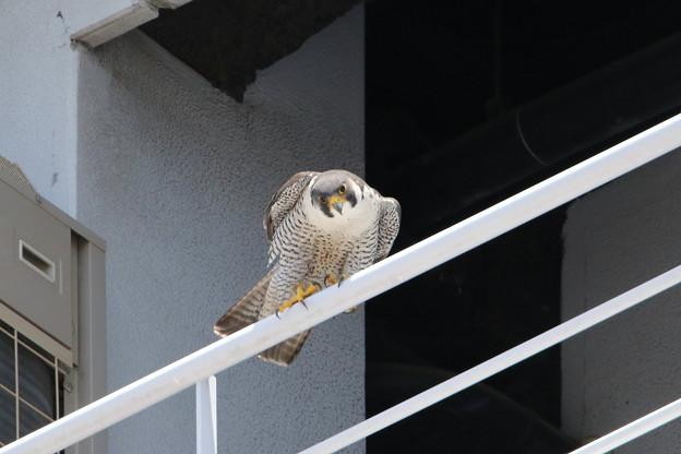 写真: 7.ハヤブサ親鳥♀(2)044A2969