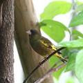 カワラヒワ親鳥(1)FK3A8862