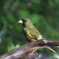 カワラヒワ親鳥(2)FK3A8885