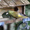 カワラヒワ親鳥(3)FK3A8864