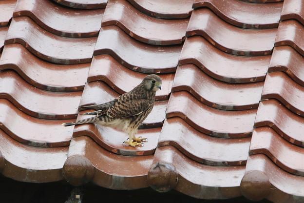 写真: チョウゲンボウ幼鳥(4)044A3085