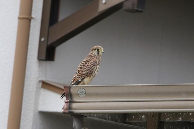 写真: チョウゲンボウ幼鳥(6)044A3101