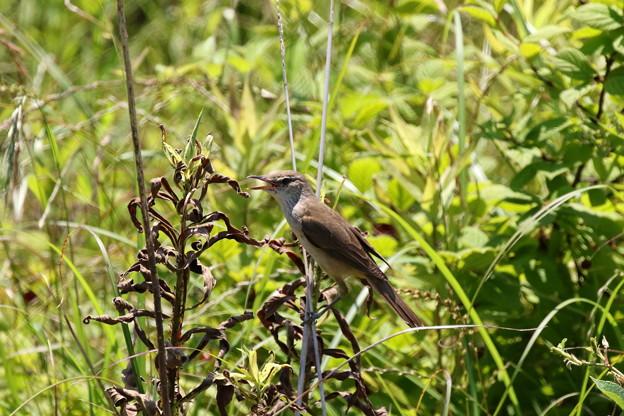 オオヨシキリ幼鳥 FK3A9949