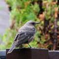 イソヒヨドリ幼鳥(3)FK3A1099