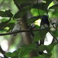 写真: サンコウチョウ(1)巣立ち直後の幼鳥と親鳥 044A4056