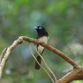 写真: サンコウチョウ(3)巣立ち後の幼鳥を見守る親鳥 044A4045