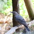 イソヒヨドリ♂幼鳥(2)FK3A1760