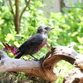 イソヒヨドリ♂幼鳥(3)FK3A1771
