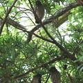 アオバズク幼鳥(3)FK3A1964