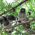アオバズク幼鳥(1)FK3A1899