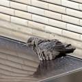 イソヒヨドリ♀幼鳥 FK3A1706