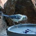 シジュウカラ幼鳥(2)FK3A2499