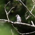 写真: コサメビタキ幼鳥(1)FK3A2586